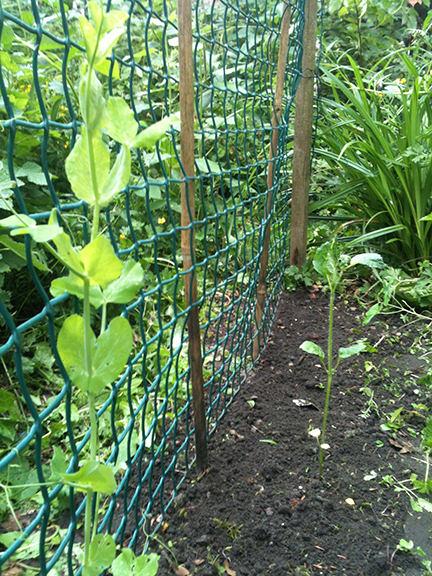 pea seedling and sunflower seedling